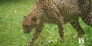 RWPZ Cheetah