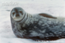 Wed the Weddell Seal