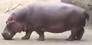 Woodland Park Zoo Hippo
