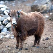 43981263-young-dzo-yak-in-the-nepal-himalaya-dzo-is-a-hybrid-of-yak-and-domestic-cattle-