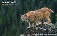 Bobcat-on-top-of-a-rock