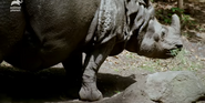 Bronyx Zoo TV Series Indian Rhino