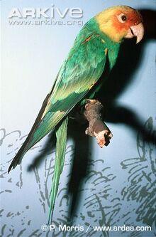 Carolina-parakeet-museum-specimen