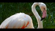 Cincinnati Zoo Flamingo (V2)