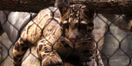 Cleveland Metroparks Zoo Clouded Leopard