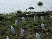 Crocodiles and Egrets