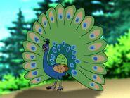 Rileys Adventures Indian Peafowl