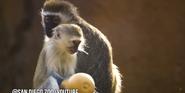 San Diego Zoo Vervets