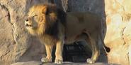 Sedgwick County Zoo Lion