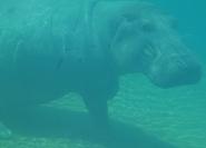 Toledo Zoo Hippo