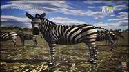 UTAUC Zebras