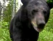 AFO Black Bear