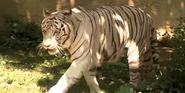 Cincinnati Zoo White Bengal Tiger