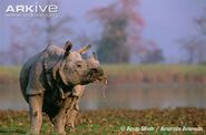 Indian-rhinoceros