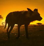 SRNGTI Wild Dog