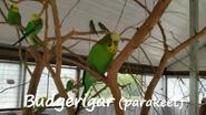 The Wilds Budgiepigar