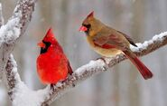 Winter-northern-cardinal-pair-beautiful-cardinals-cardinalis-cardinalis-snowy-beech-branch-37218617