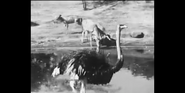 Bronyx Zoo Ostriches
