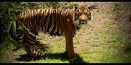 Canberra Zoo Sumatran Tiger