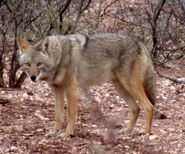 Cool-Coyotes-108