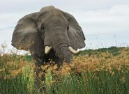 Dangerous Mad Elephant