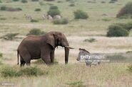 Elephant and Grevy's Zebra