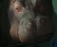 NatM Hippo