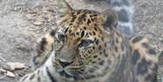 Saint Louis Zoo Leopard