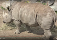 Tronto Zoo White Rhinoceros
