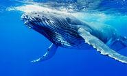 Whale, Humpback