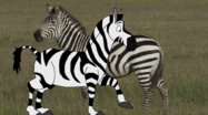 Zip and Real Plains Zebra