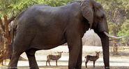 5AfricanElephant BW 650px