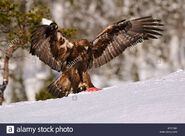 European golden eagle soaring