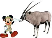 Mickey meets Gemsbok