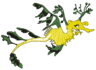 Erika the Leafy Sea Dragon