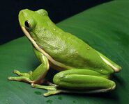 Green-Tree-Frog-Photos