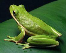 Green-Tree-Frog-Photos