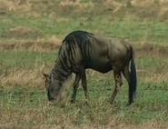 HugoSafari - Wildebeest02
