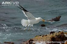 Kelp-gull-in-flight