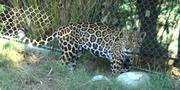 LA Zoo Jaguar