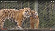 Memphis Zoo Tigers