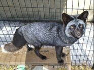 Rescue-fox-envy-1280x960