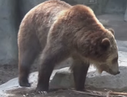 San Diego Zoo Grizzly
