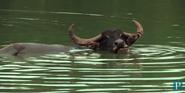 Six Flags Water Buffalo