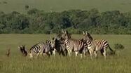HugoSafari - Zebra01