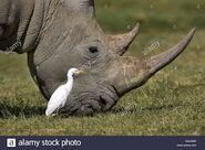 White Rhino with Cattle Egret
