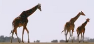 Zoo 2015 Giraffes