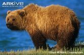 Bear, Grizzly