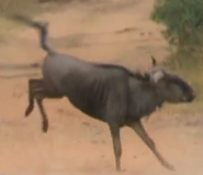 CITIRWN Wildebeest