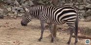 Memphis Zoo Zebra